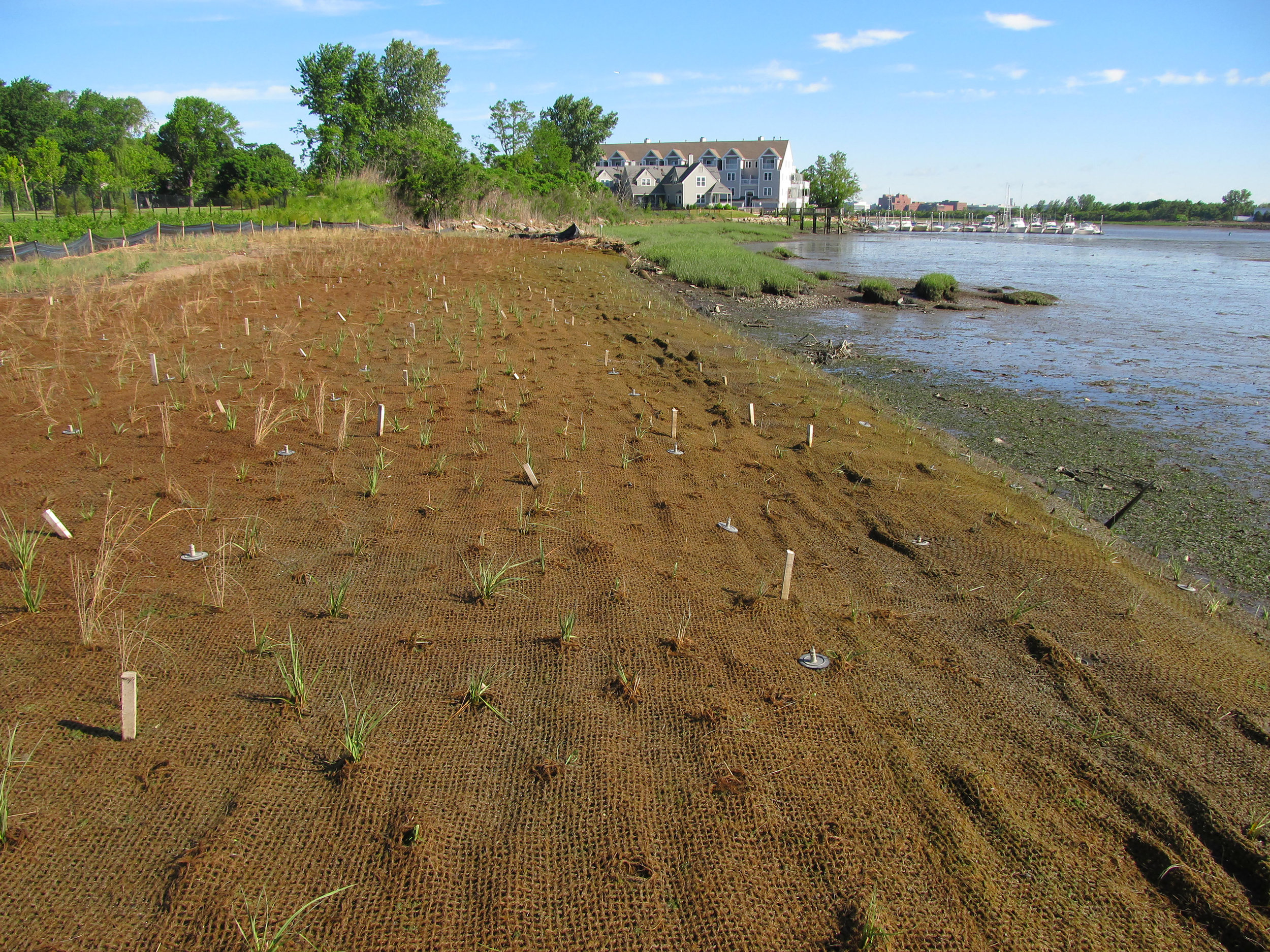 Stabilization of the natural bank with newly installed salt marsh in 2016