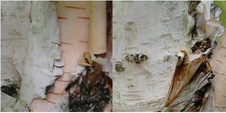 birch one