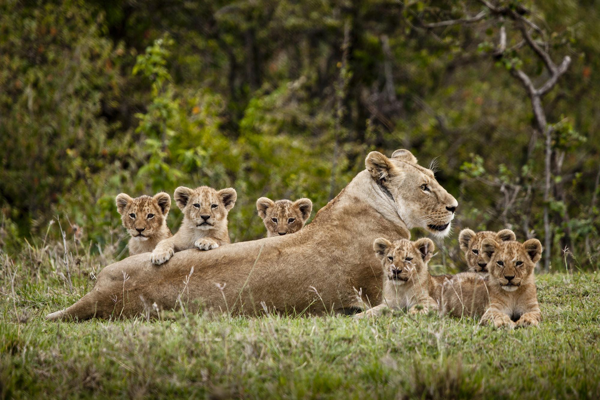 Six_cubs_final.jpg
