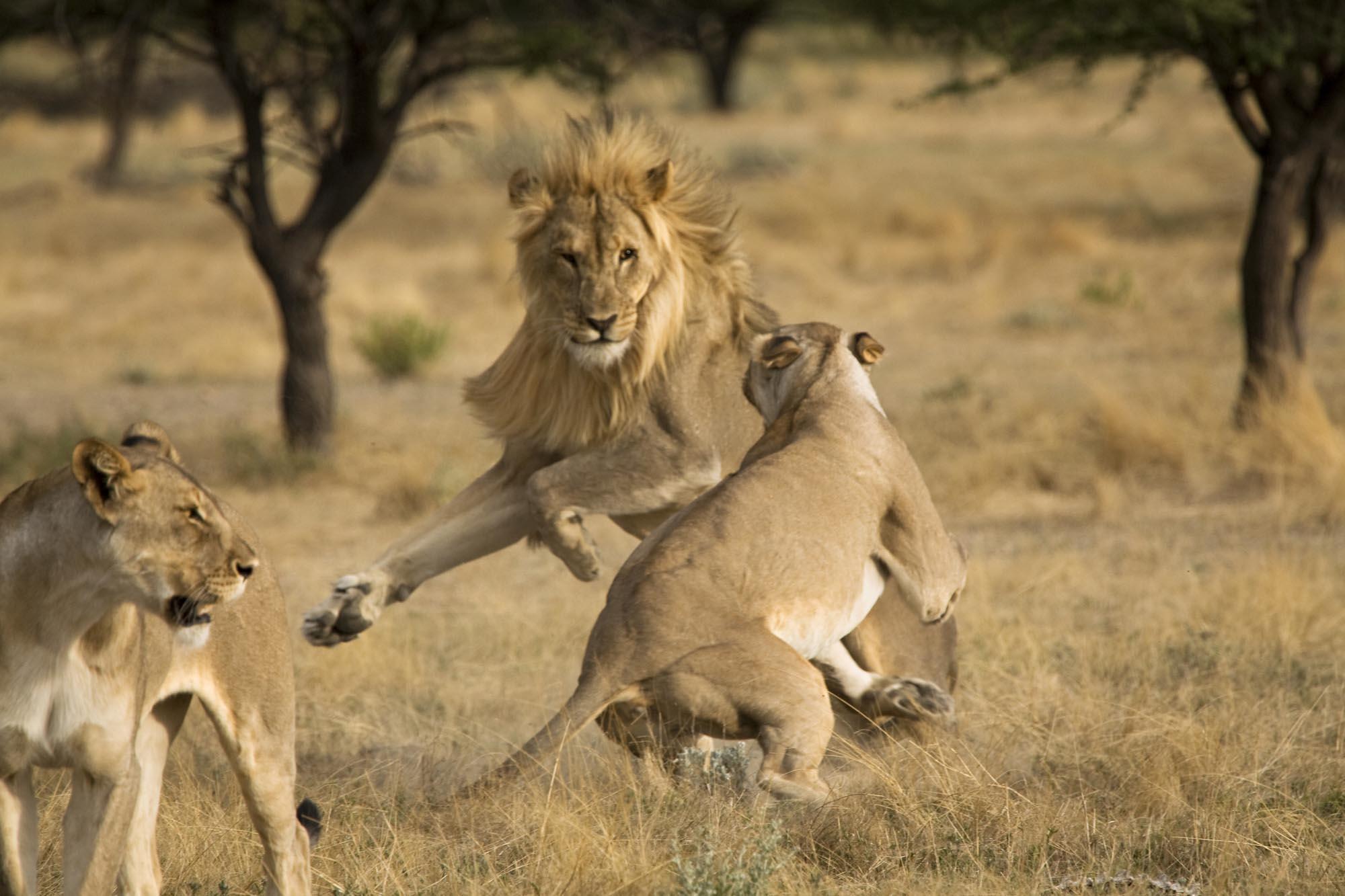 Mating_Lions-JM.jpg