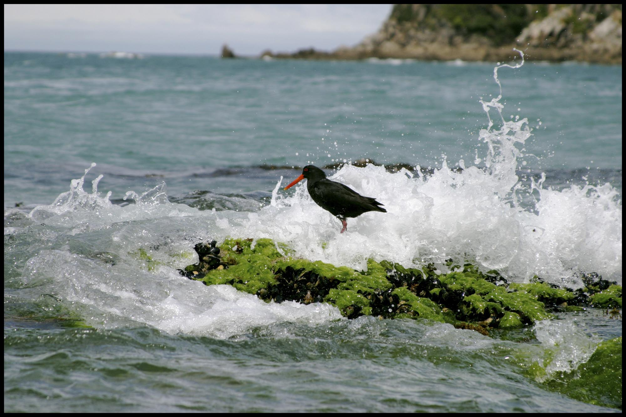 oystercatcher-2.jpg