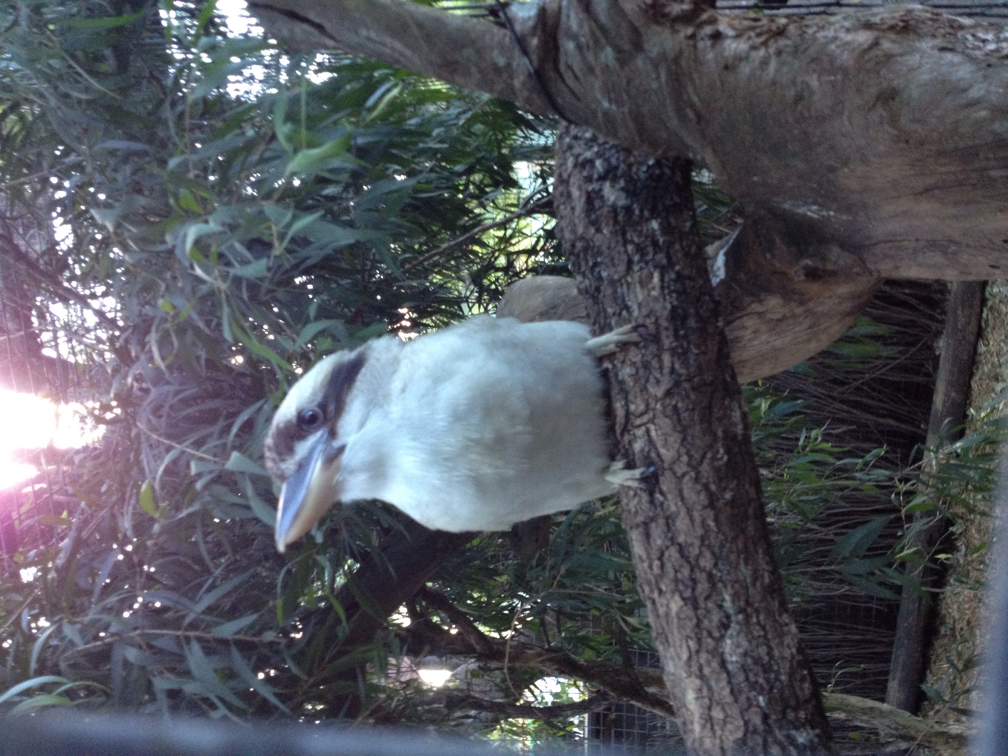 Sitting in the old gum tree