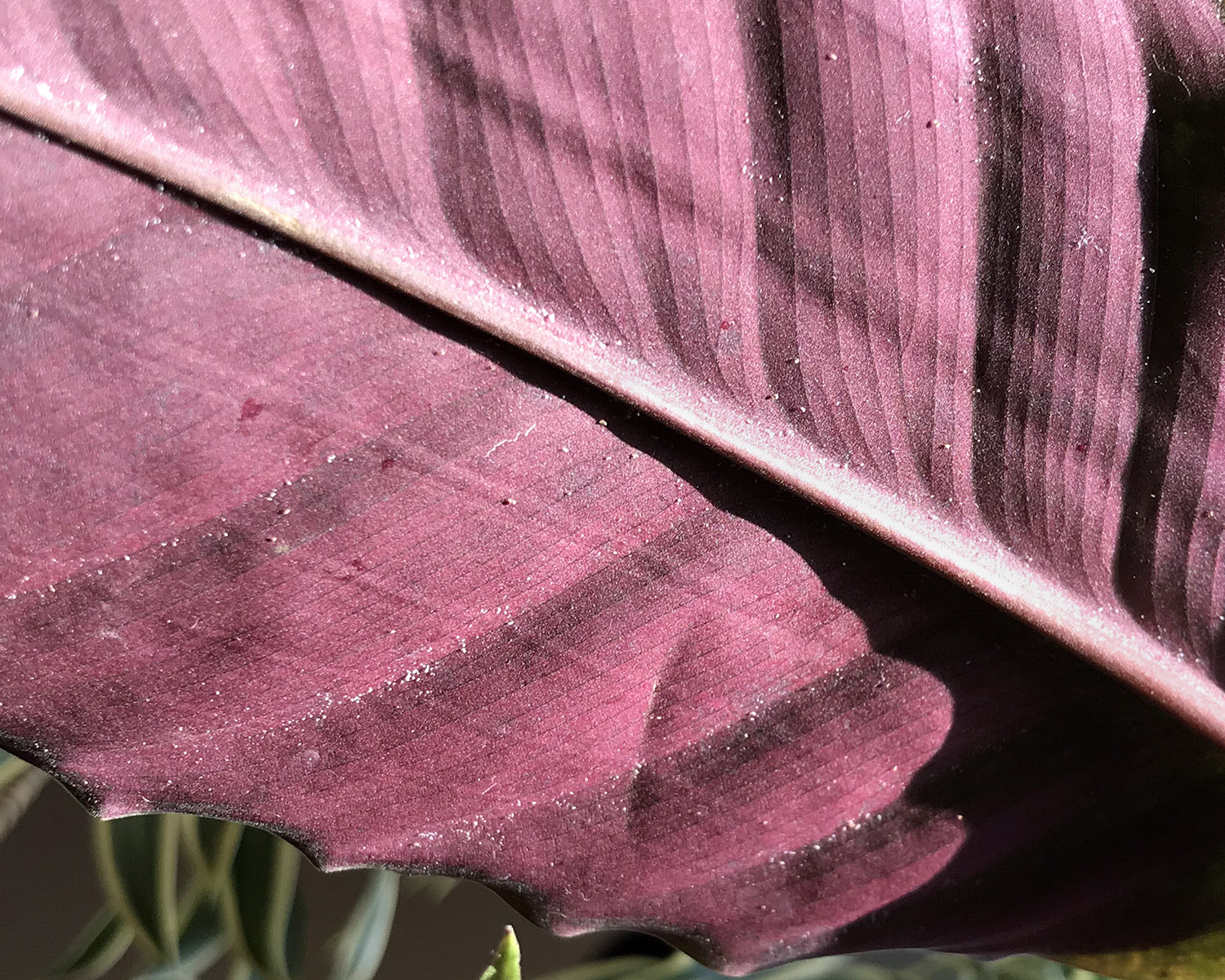 Spider mites are the tiny white spots on the underside of this Calathea leaf.
