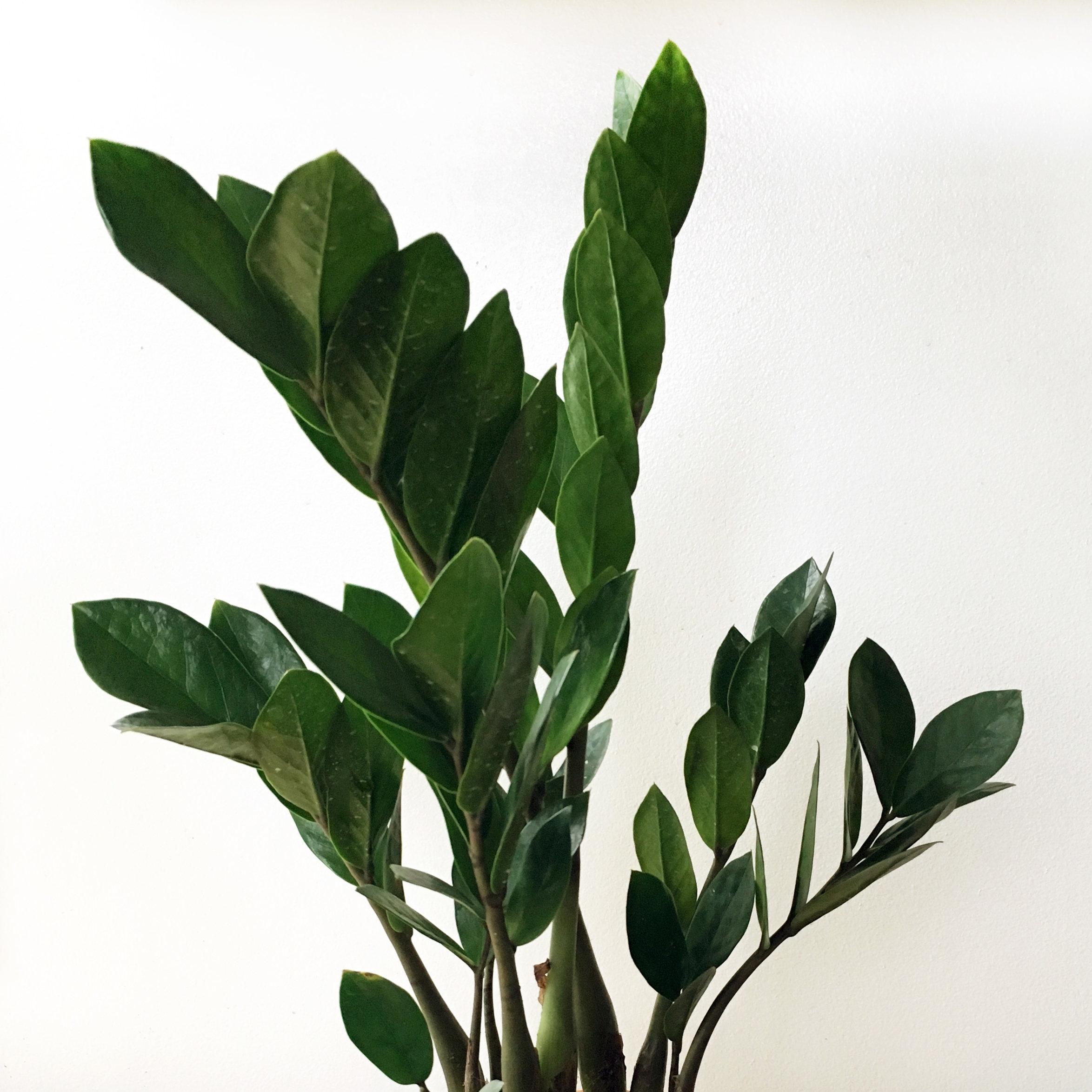 ZZ Plant - Zamioculcas zamiifolia