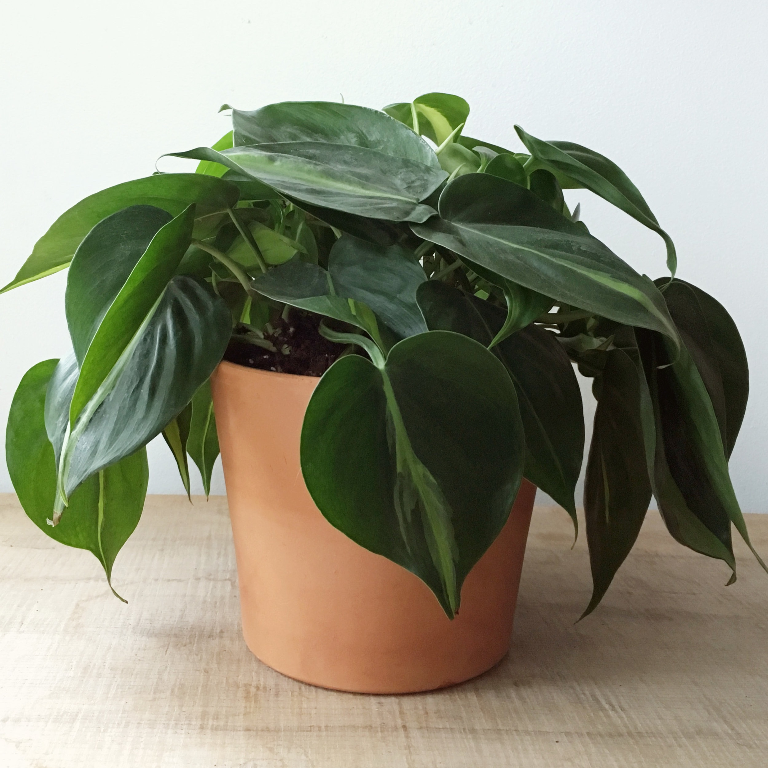 "Heartleaf Philodendron ""Brasil"" - Philodendron hederaceum"