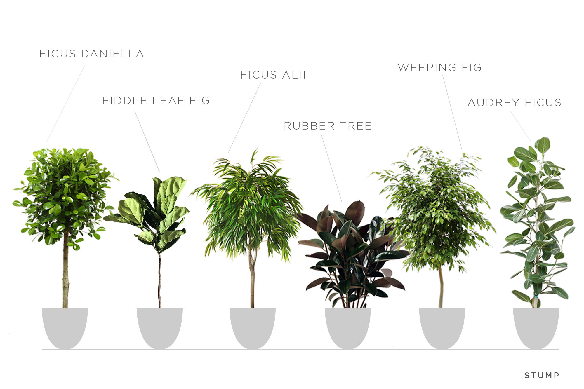 Intro To Ficus Trees Stump Curated Plants Sustainably Crafted Wares