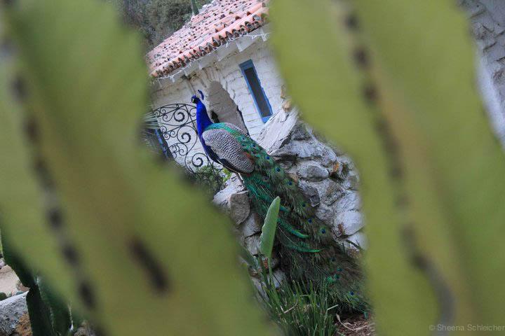 leo-carrillo-ranch-peacock.jpg