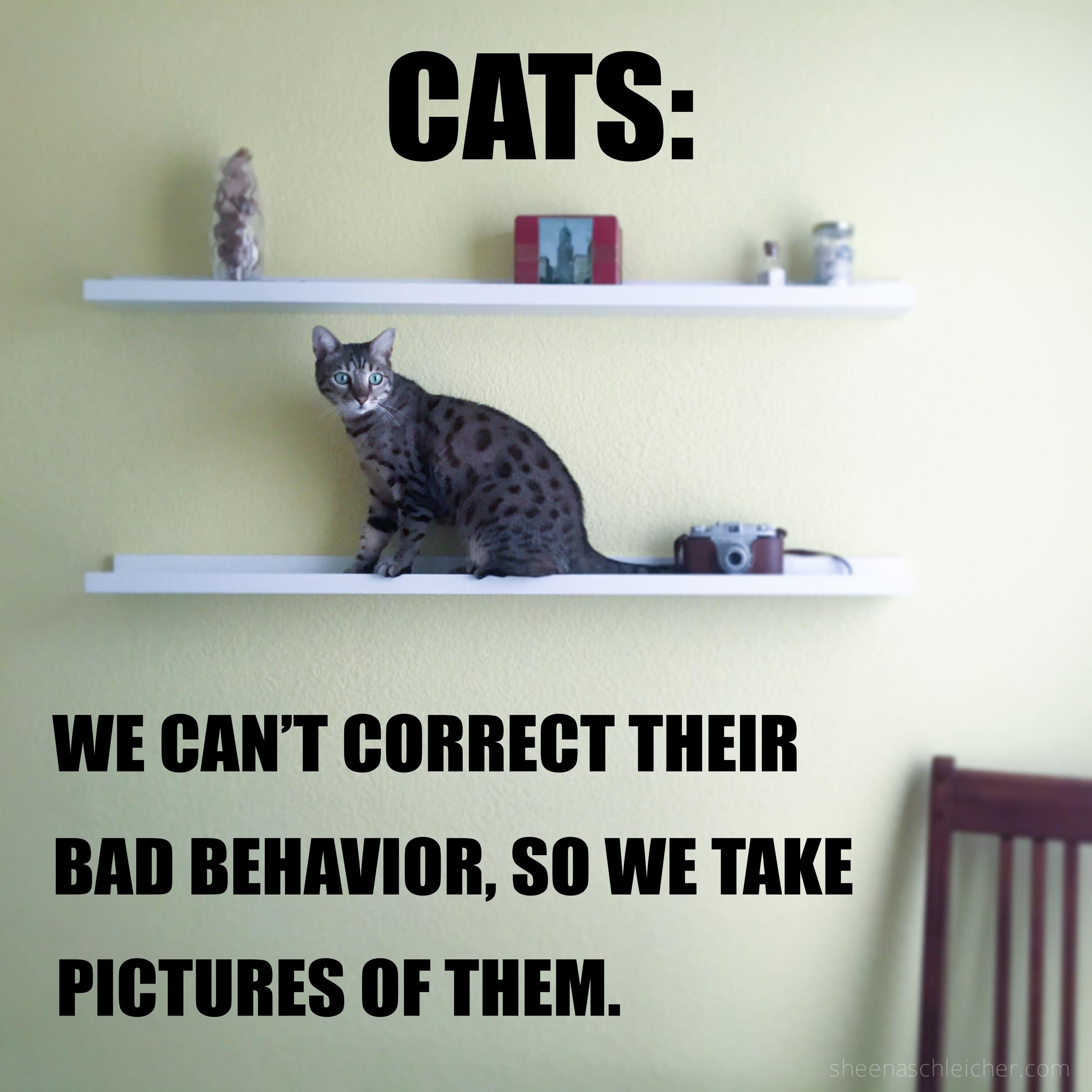 Cat bad behavior #cat #meme