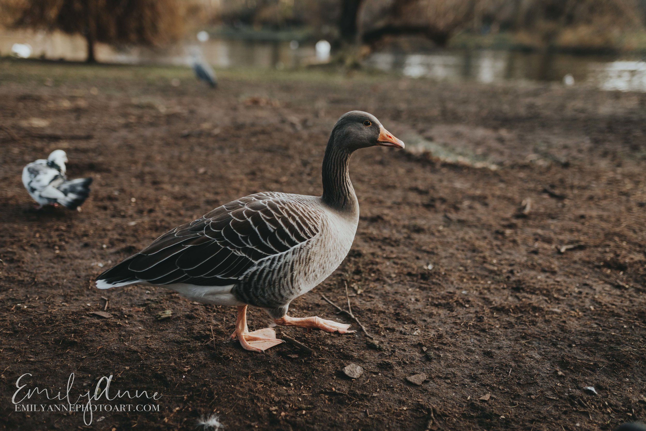 The best of Hyde Park by Photographer ducks in Hyde park, day to relax in England UK  Emily Anne Photography (photo art)