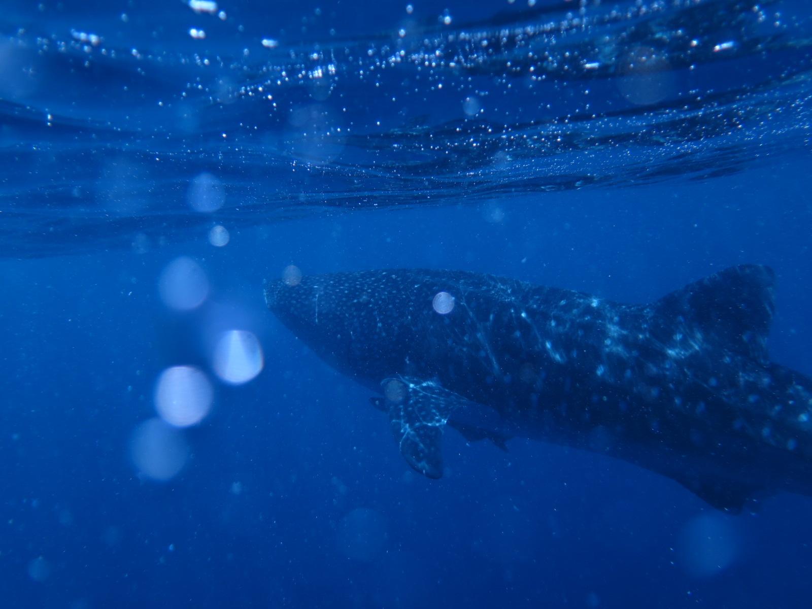 Whale Shark_2015_3.jpg