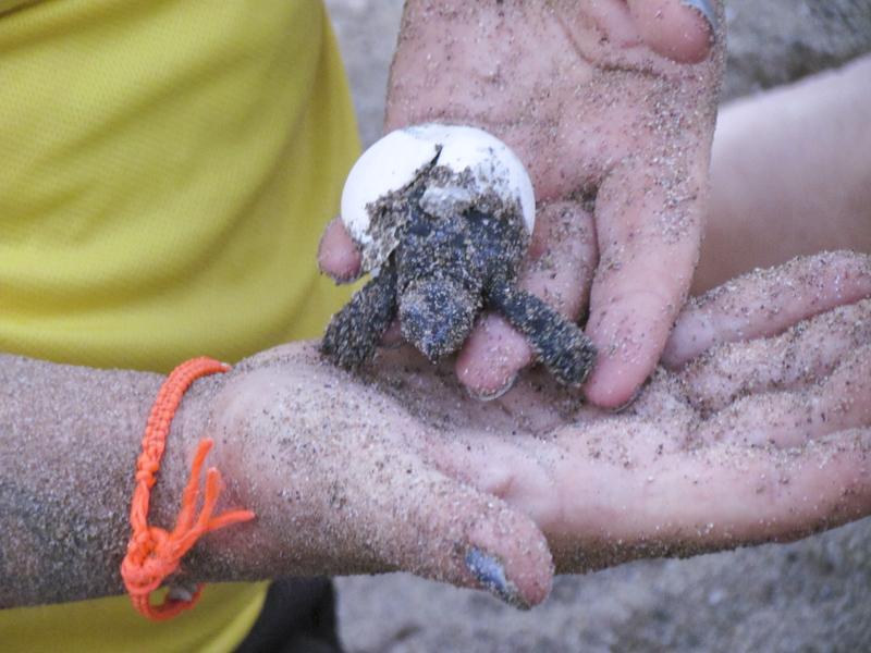 Endangered turtle hatchlings at Vasilia (Güelyalı) beach.
