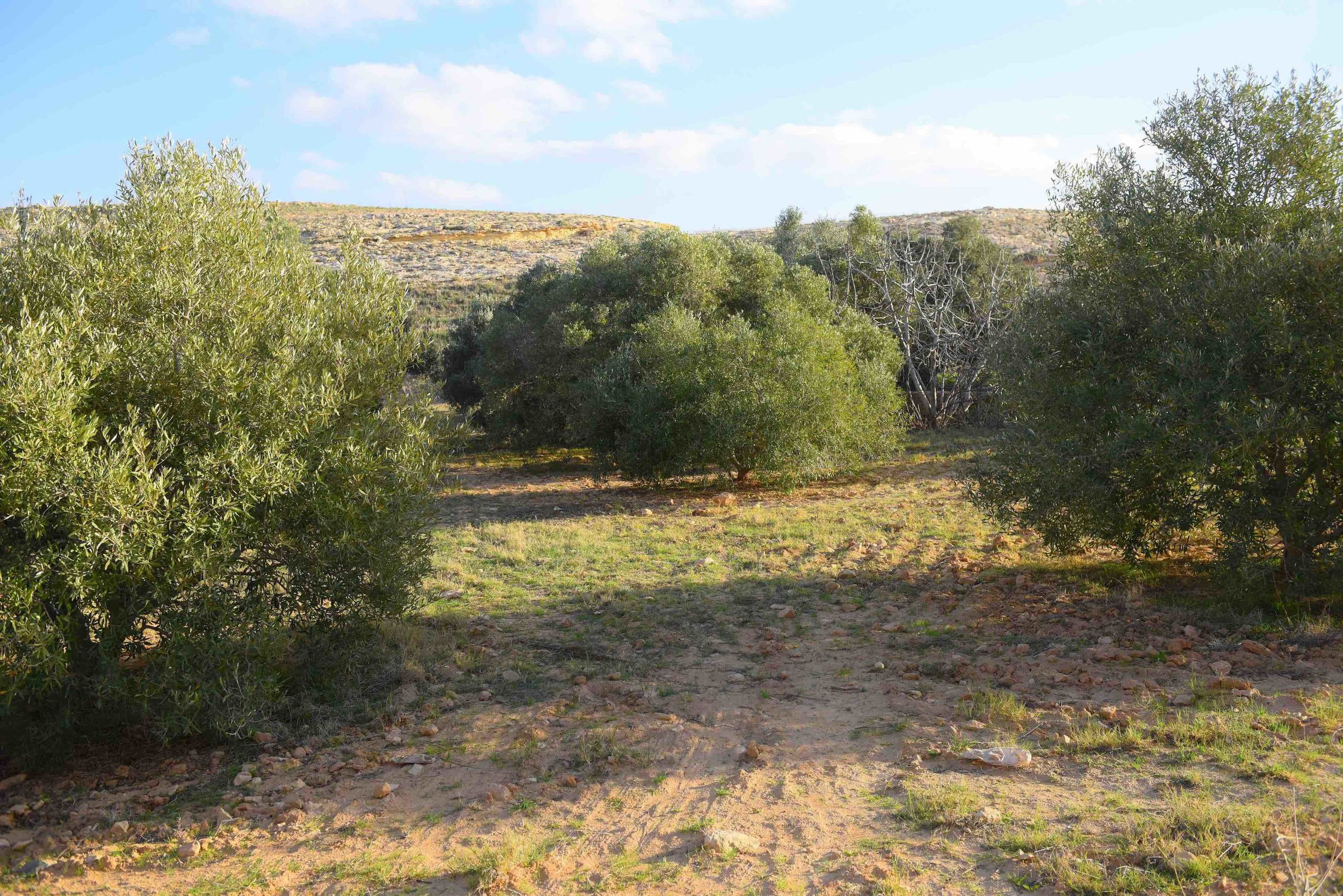 Trees planted over these valleys are olive, almond and fig