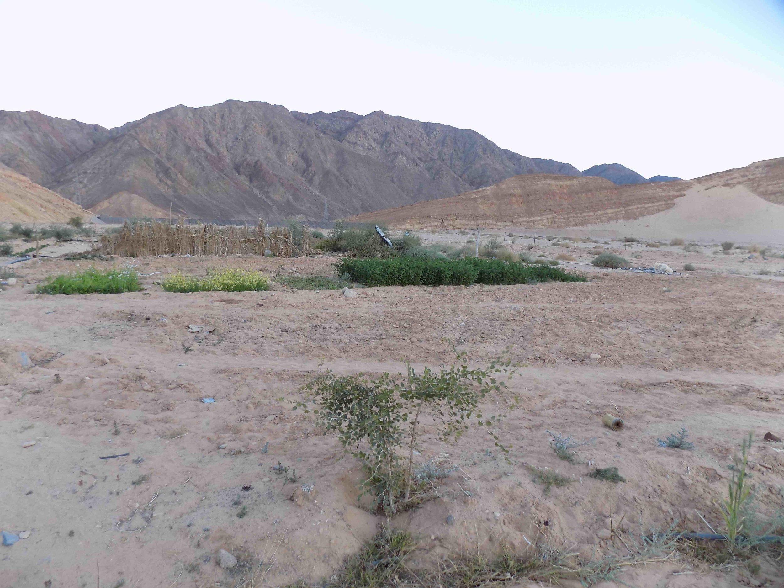 Farming in the desert sand