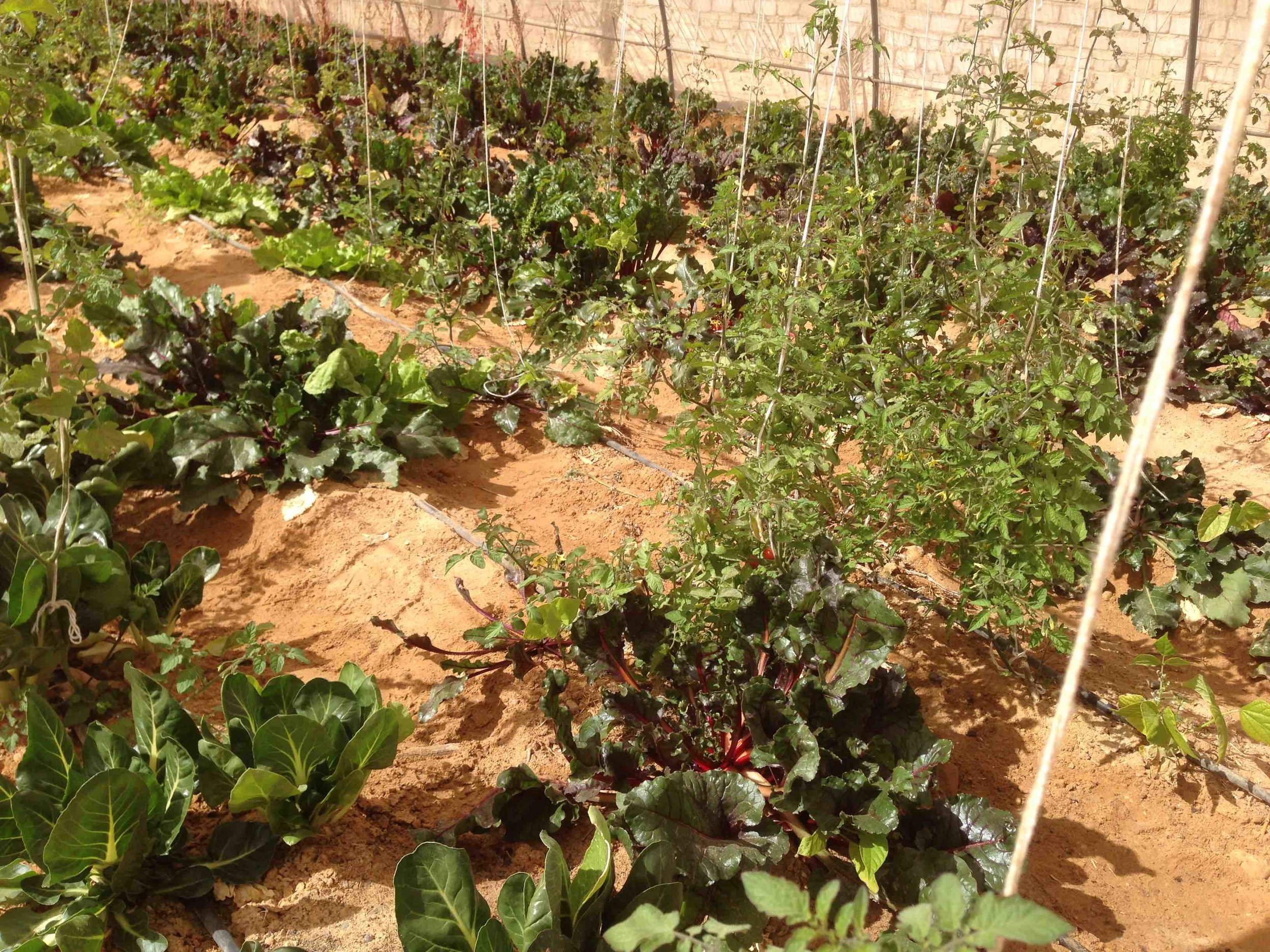 Growing vegetables in the sand