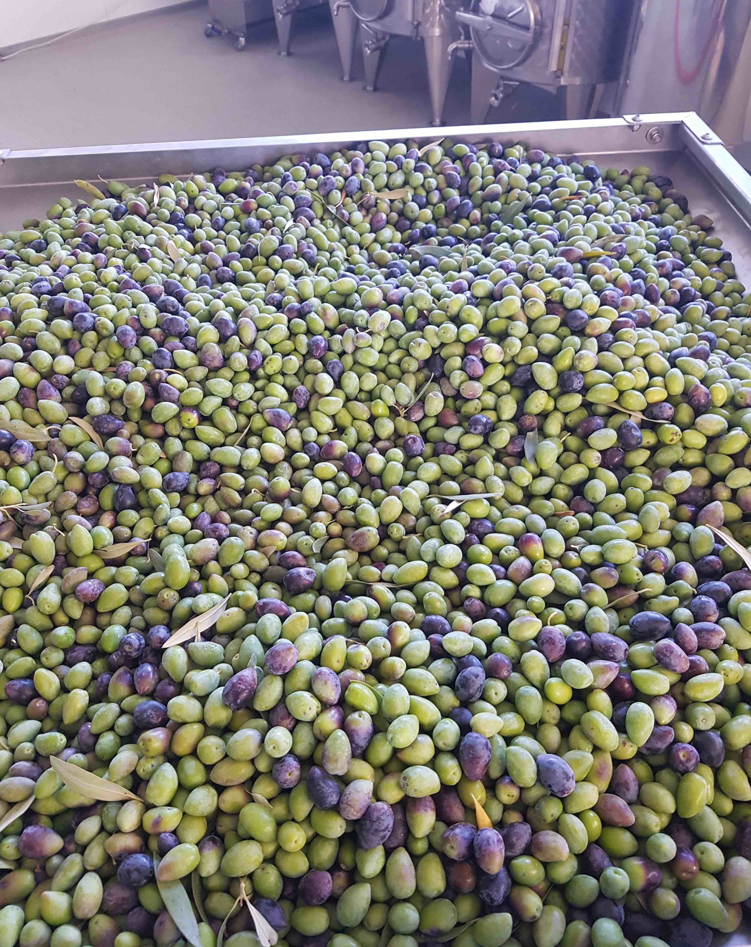 Unripened olives of the 'kalamon' variety ready to be milled at Atsas Farm. Contemporary scientific research has confirmed statements made by the Greek physician, pharmacologist, botanist Dioscorides ca. the year 60 AD, that olives must be picked while still unripened for them to have the maximum healing properties.  Photos: Nicolas Netien, 2017.