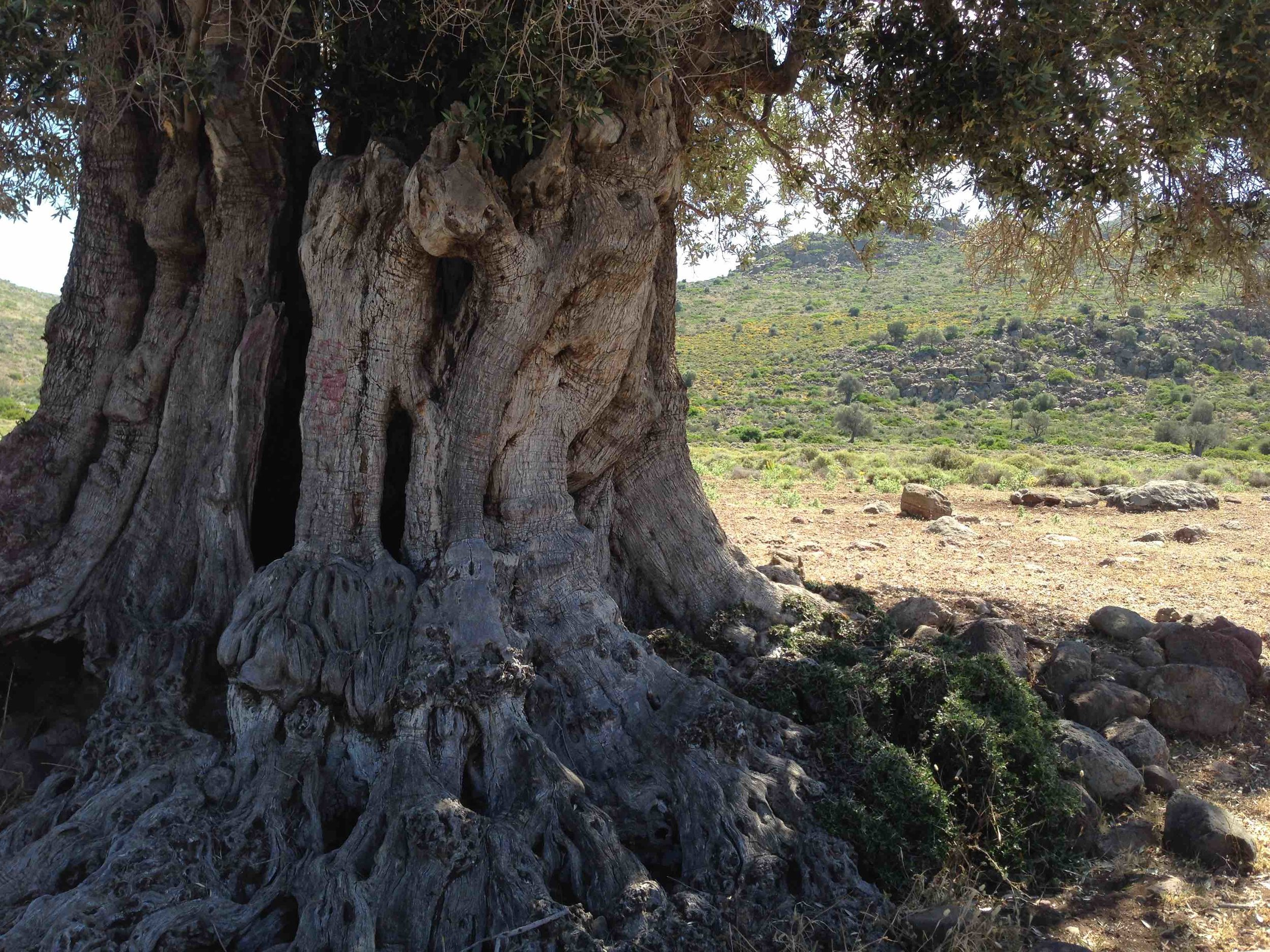 The drought-resistant olive tree represents one of the most historical connections of the EM/MENA region. Its fruit has always been of agricultural importance in the Mediterranean Basin through to the Arabian Peninsula.    Pictured is the Valley of Eleonas, the ancient olive grove on the island of Aegina, where trees are surrounded by wild shrubs and aromatics, in an area that has had little human intervention. Many of the trees still bearing fruit are over 2,500 years old, and date to a time when the Greeks were aware of their curative capabilities. The olives and their oil have been used as food and as medicine since ancient times.  Photo: Melina Nicolaides, 2017.