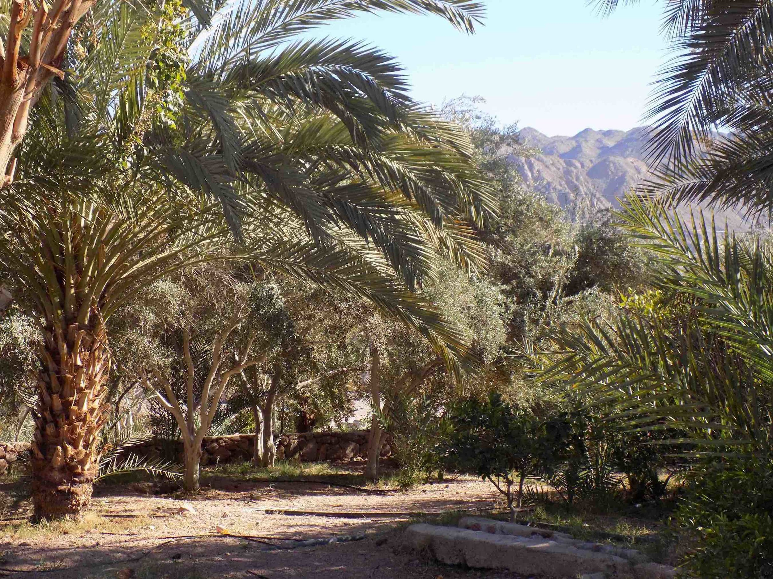 A food forest in South Sinai, Egypt.  Photo: Melina Nicolaides, 2017