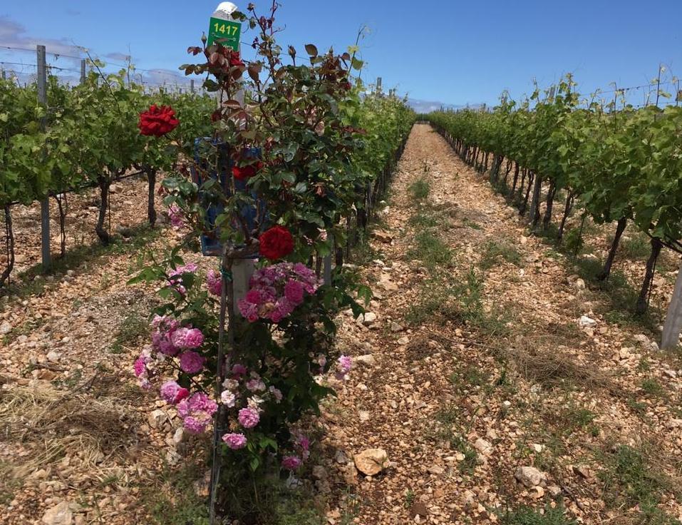 croatian vinyard.jpg