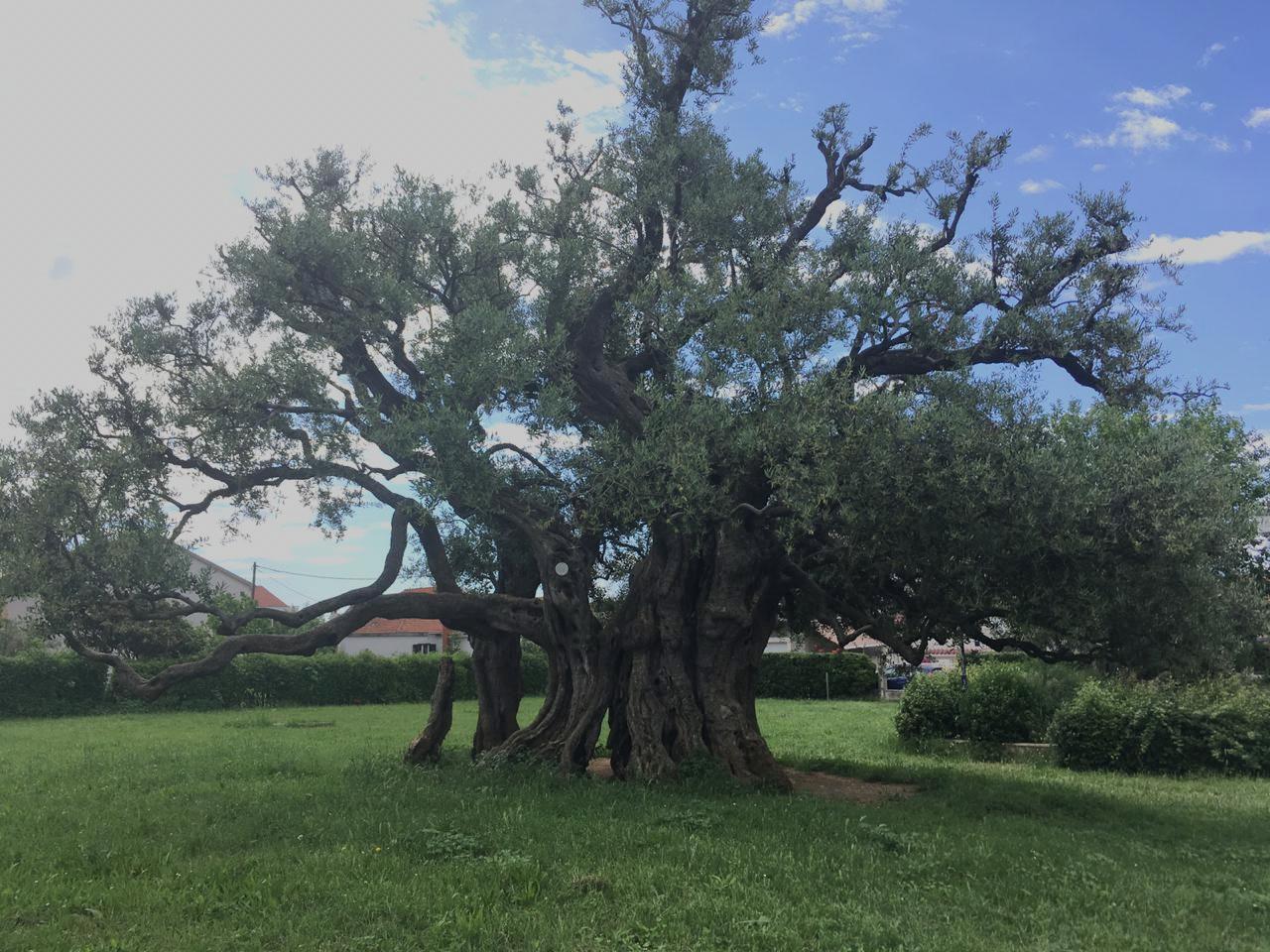 """""""Mastrinka"""" the 1500 year old olive tree"""