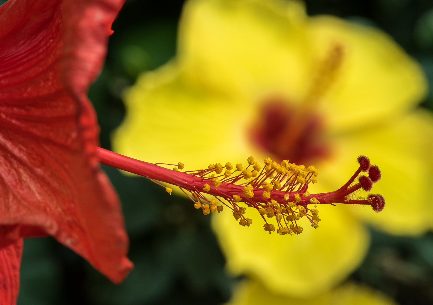 Hibiscus in Red and Yellow.jpg