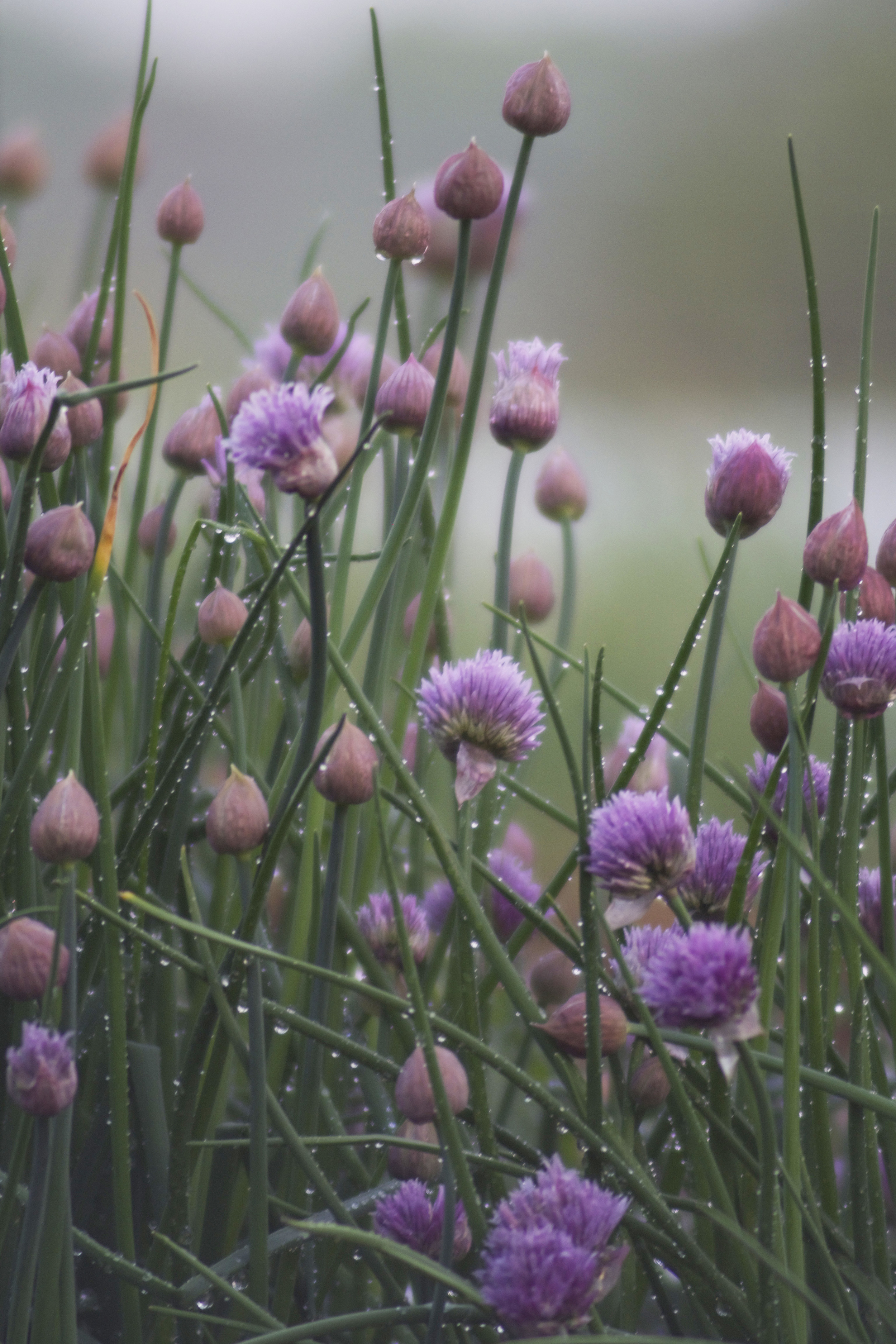chives blossoms with rain drops.jpg