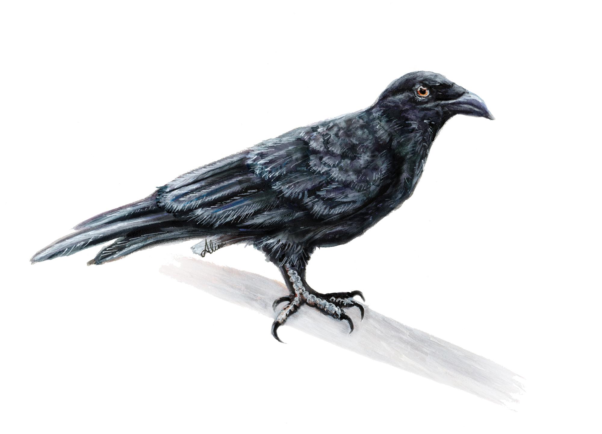 Cuban Crow