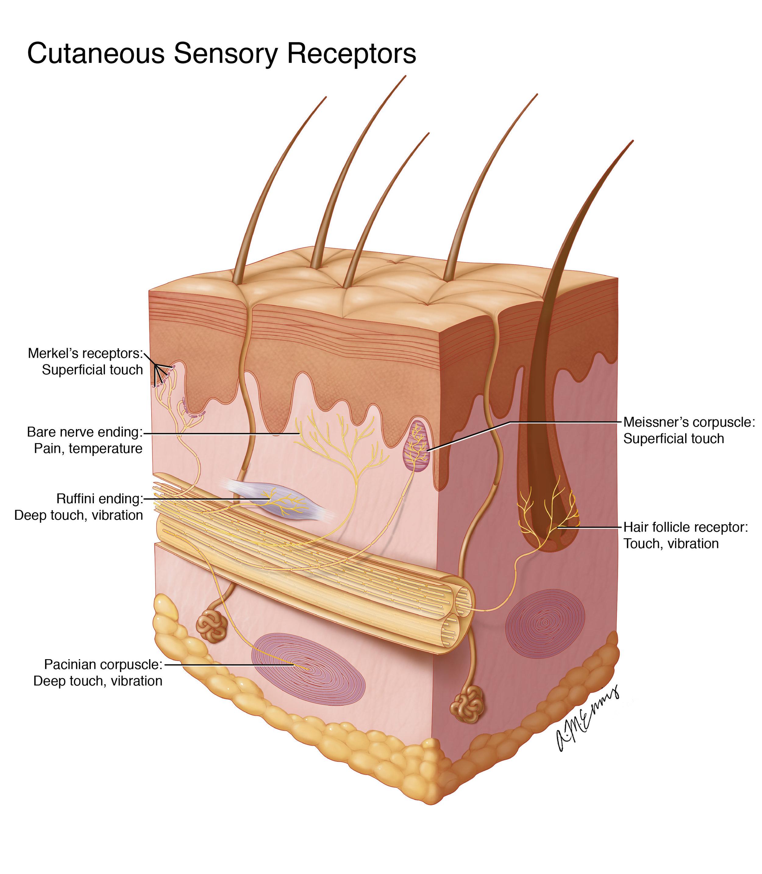 Cutaneous Sensory Receptors