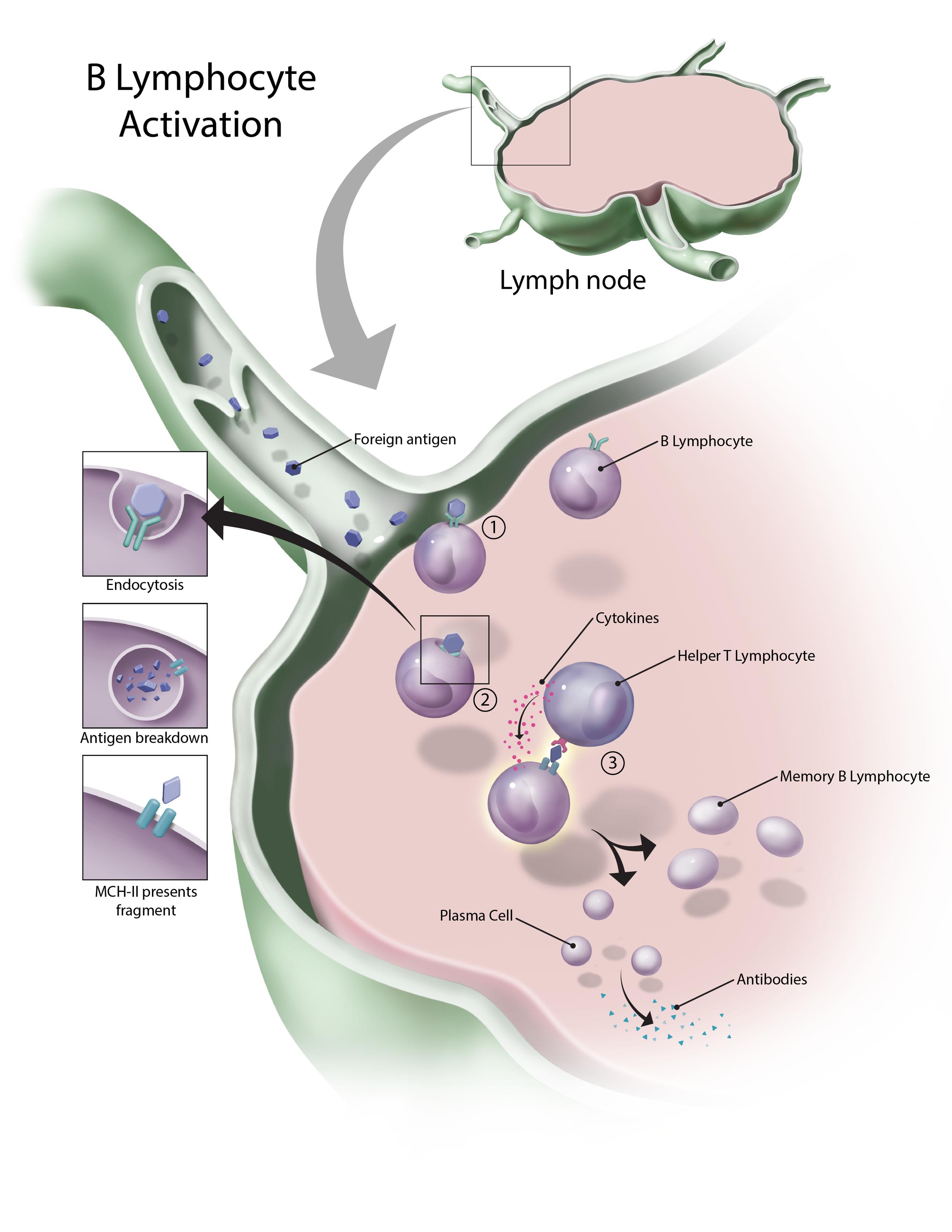 B Lymphocyte Activation