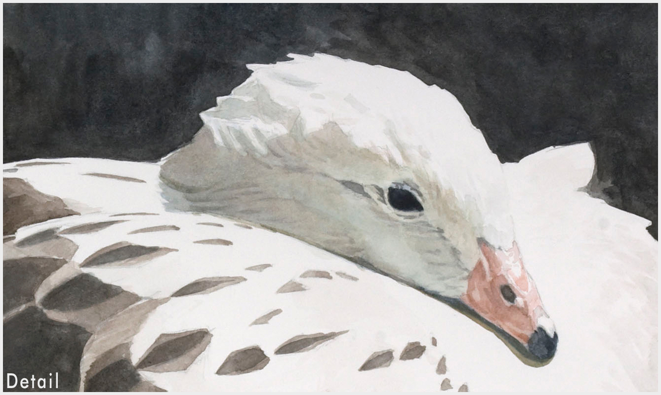 Study-for-Andean-Goose-42-f-DETAIL.jpg