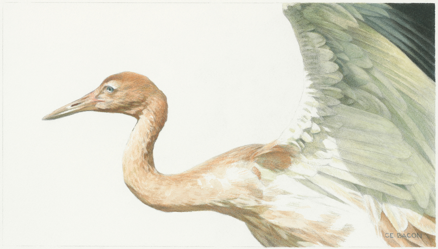 """'STUDY FOR YOUNG WHOOPING CRANE' 2018 •watercolour on arches (cold press) paper •17.15cm x 29.84cm •6.75""""x 11.75"""""""