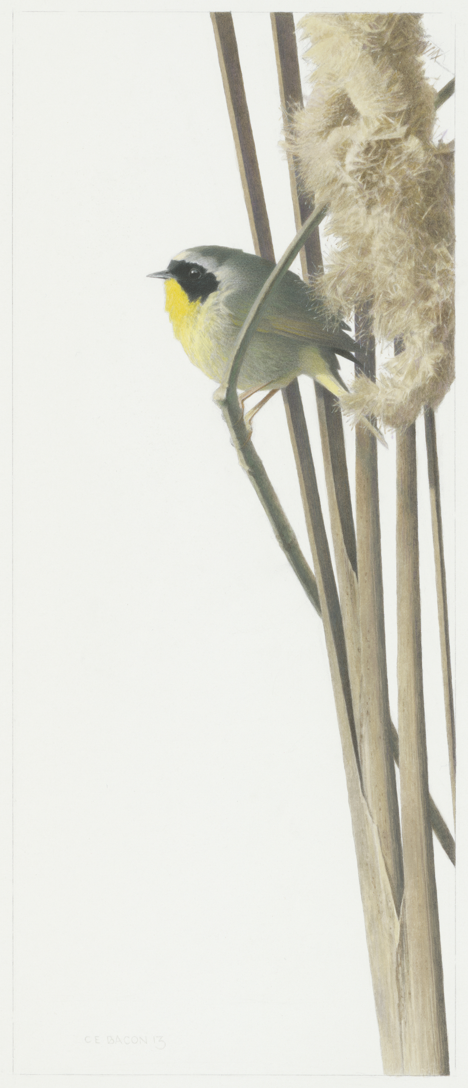 Study for Common Yellowthroat