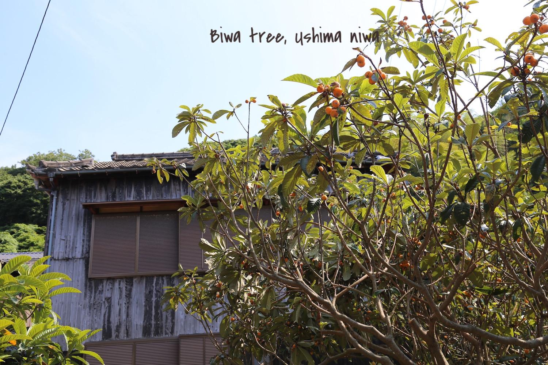 biwa-tree-japan.jpg