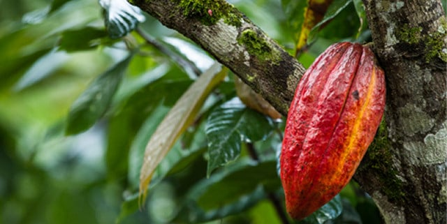 The perfect Theobroma cacao tree (photo from: http://www.zchocolat.com/)