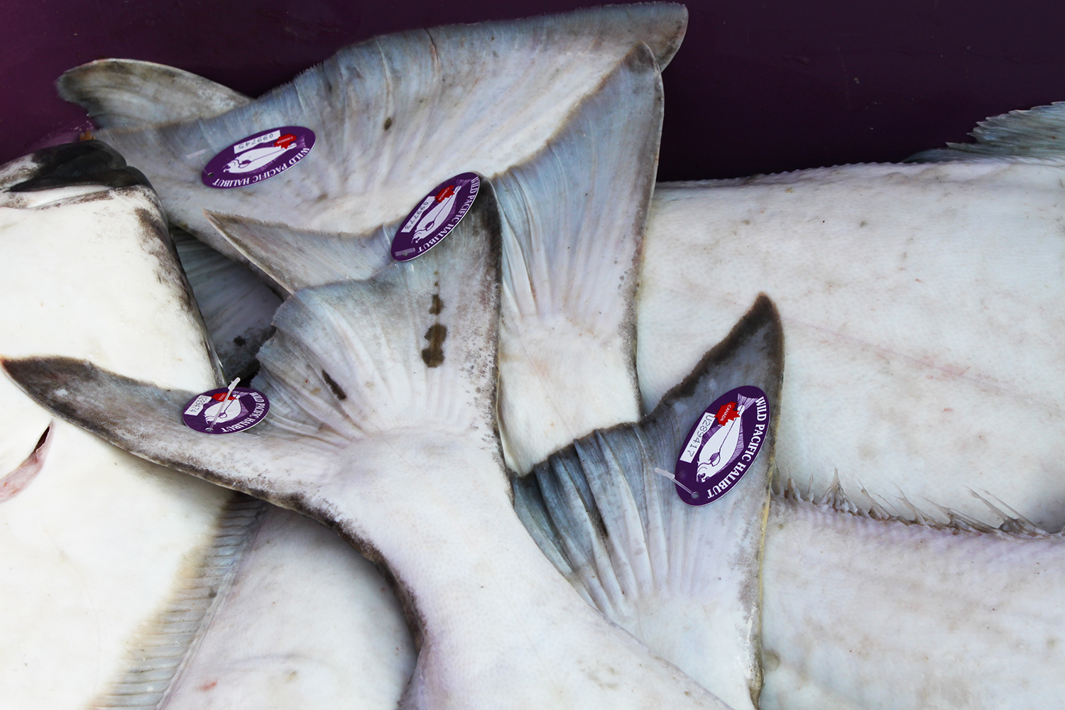 Wild_Tagged_Halibut.jpg