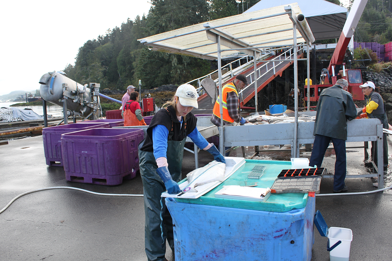 An IPHC port sampler measures a wild Pacific halibut to record length and weight, and then remove an otolith - a hard, calcium carbonate structure located directly behind the brain of the fish -so scientists can determine age and derive age-related information as well as growth rates of the wild Pacific halibut.