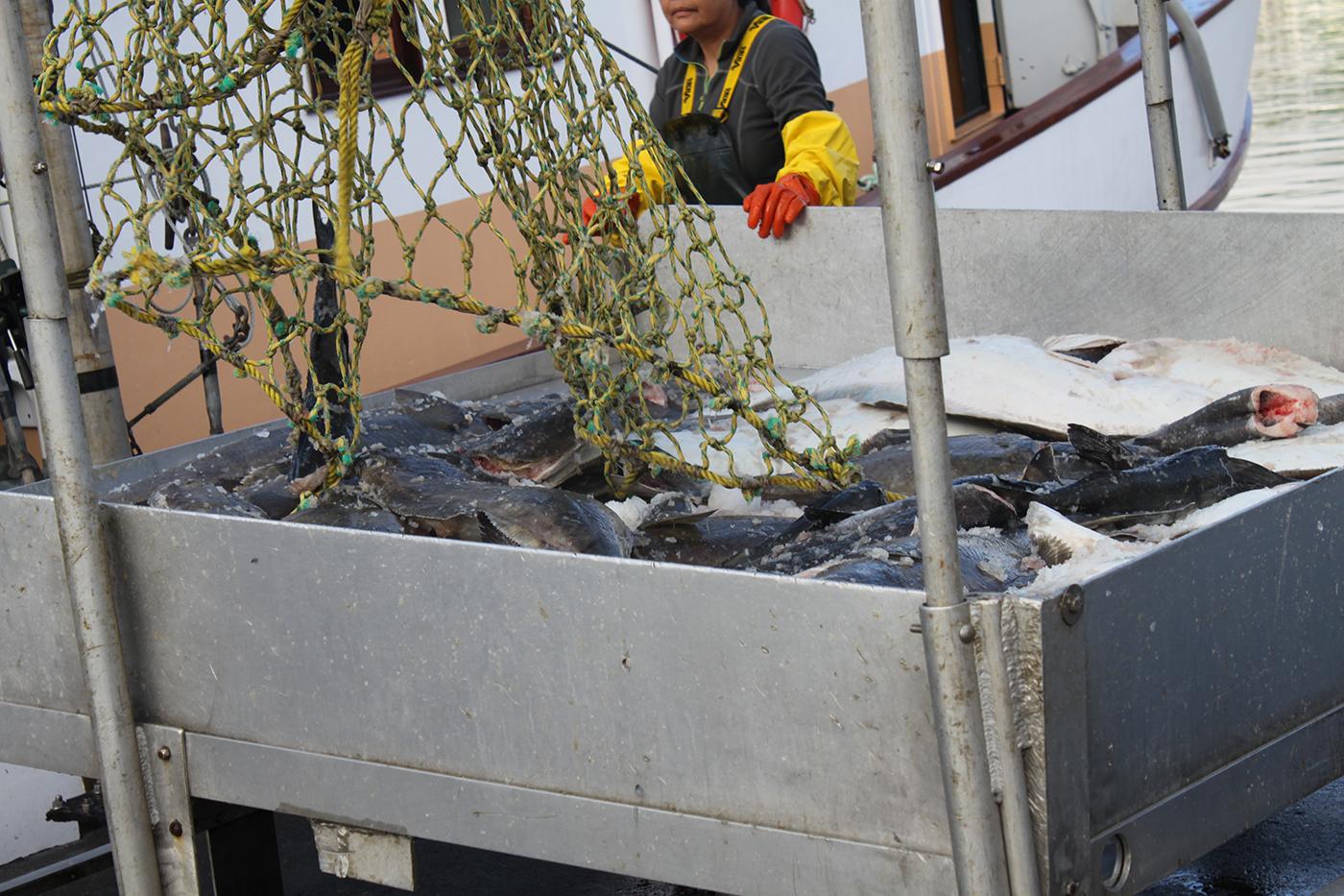 Wild-pacific-halibut-harvesting-5.JPG