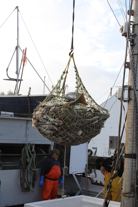 Wild-pacific-halibut-harvesting-7.JPG