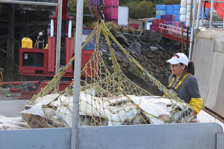 Wild-pacific-halibut-harvesting-8.JPG