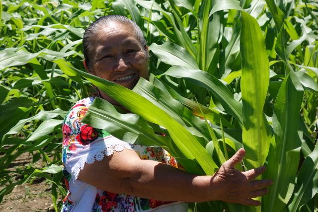 Doña Maria Ávila (Yucatec Maya), Elder and Knowledge Holder from Mexico embraces Seneca White Corn in The Cultural Conservancy's Three Sisters Garden in Novato, California.