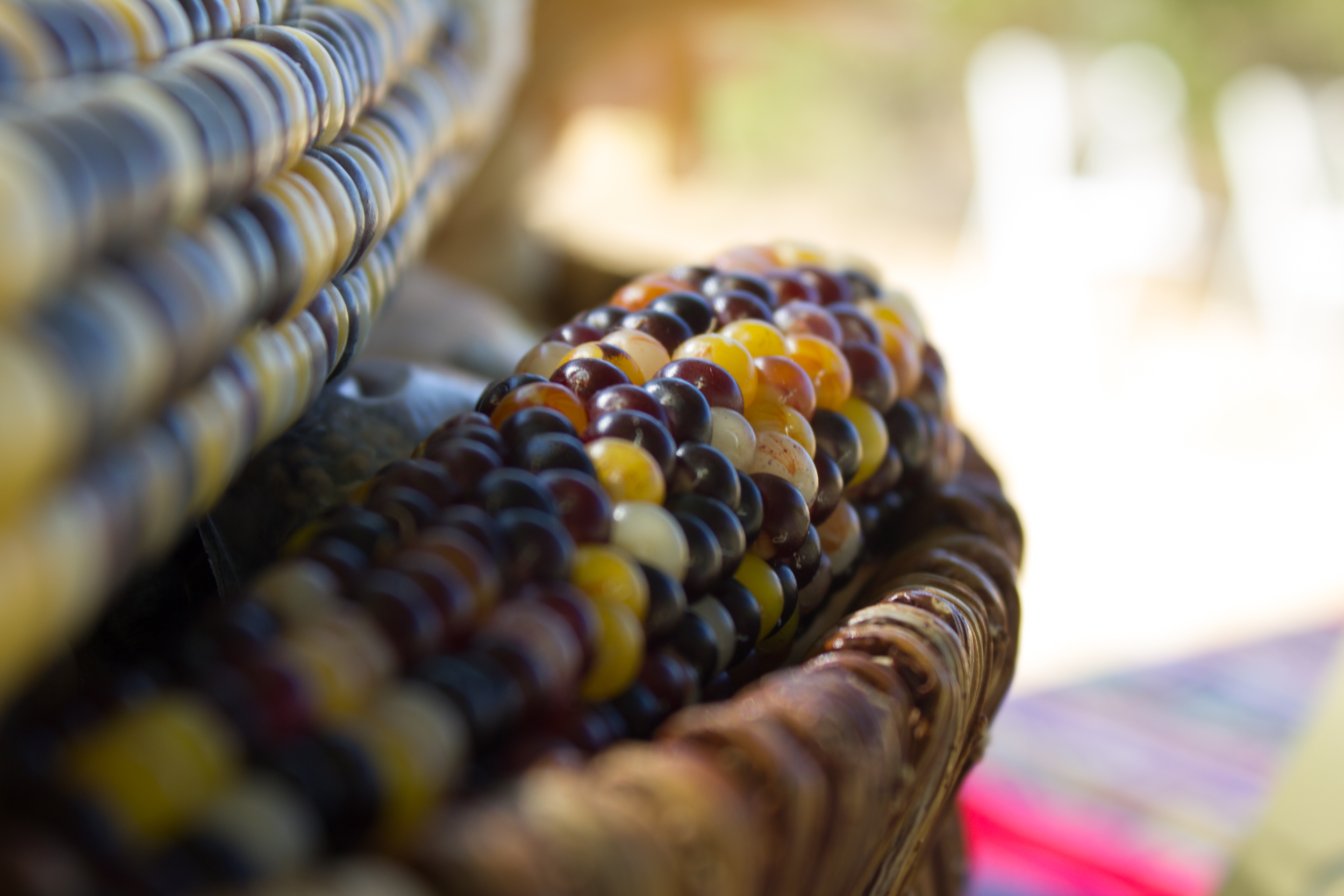 Multicolored ceremonial corn sits in a place of honor inside a handwoven basket during a harvest celebration
