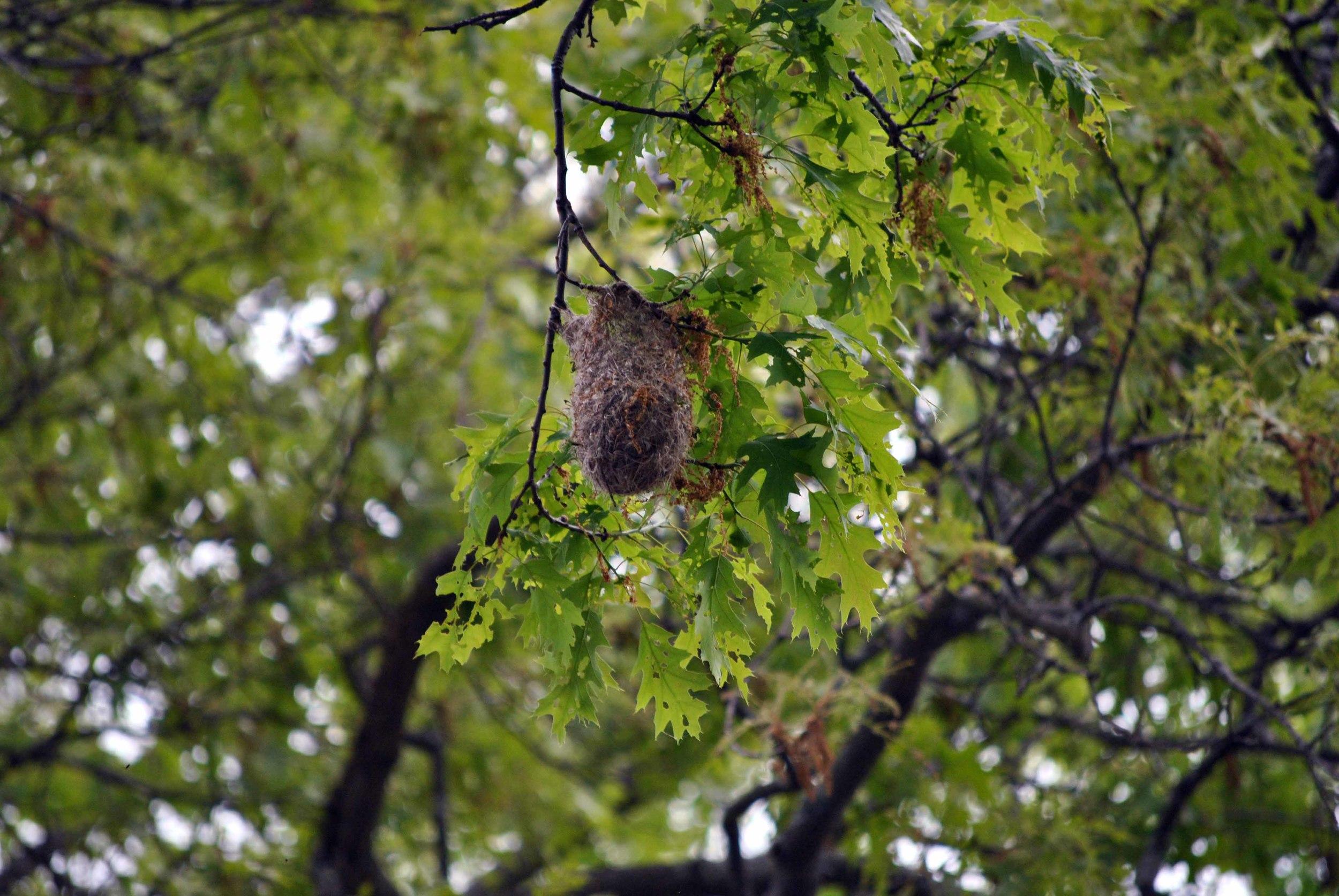 Baltimore Oriole Nest