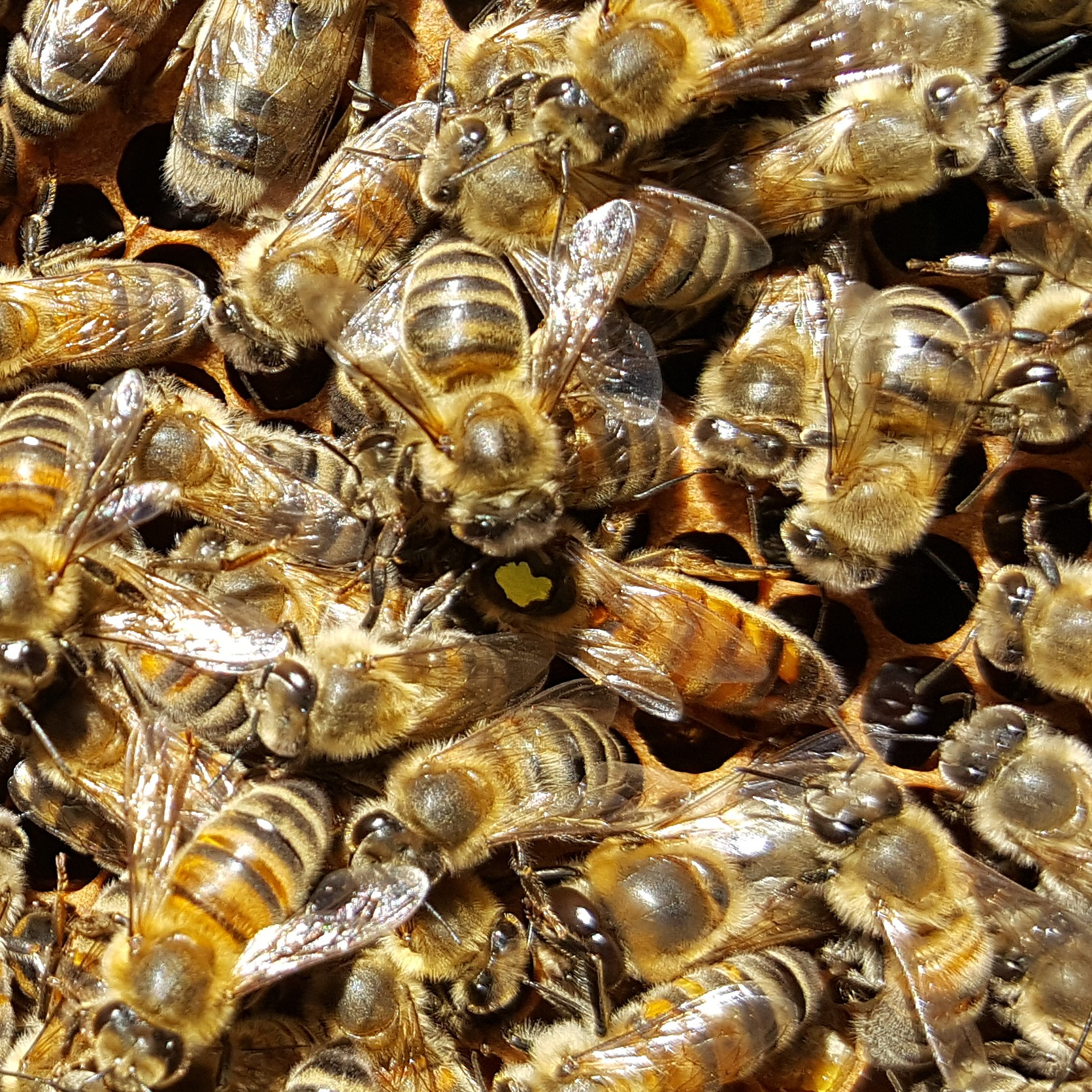 The new queen bee with the yellow dot on her back