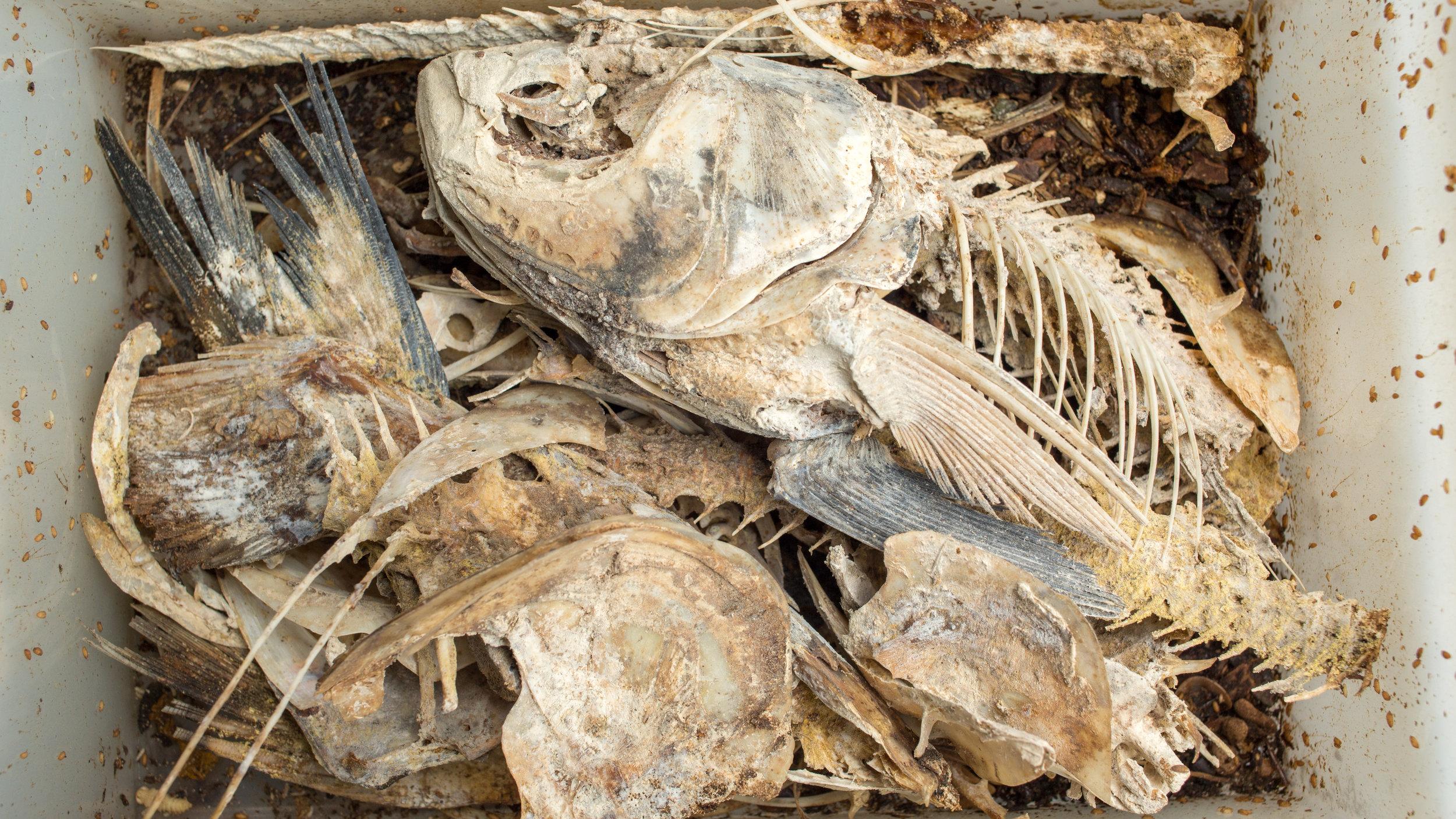fish_bones_meal_25.jpg