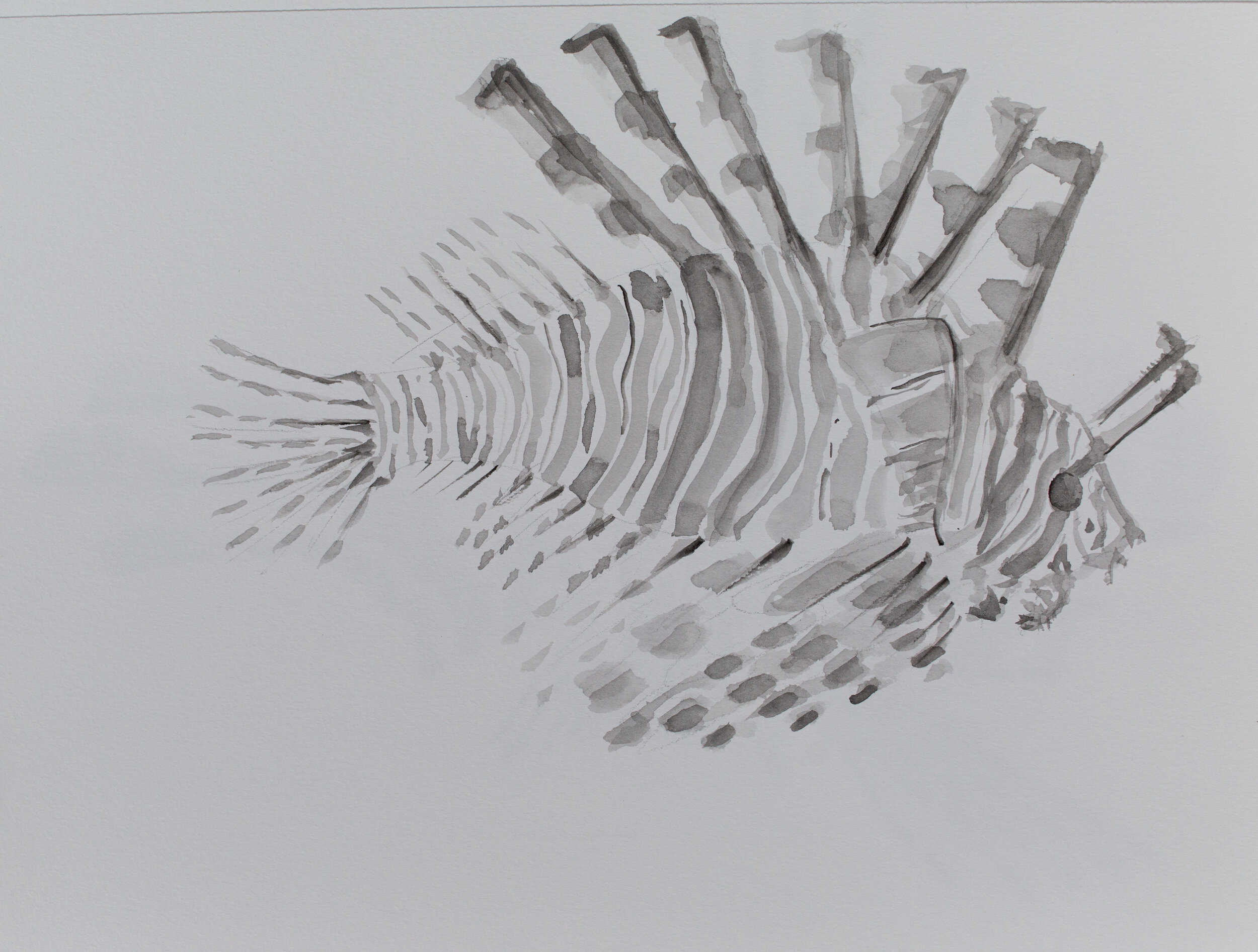 Lionfish drawing_5.jpg