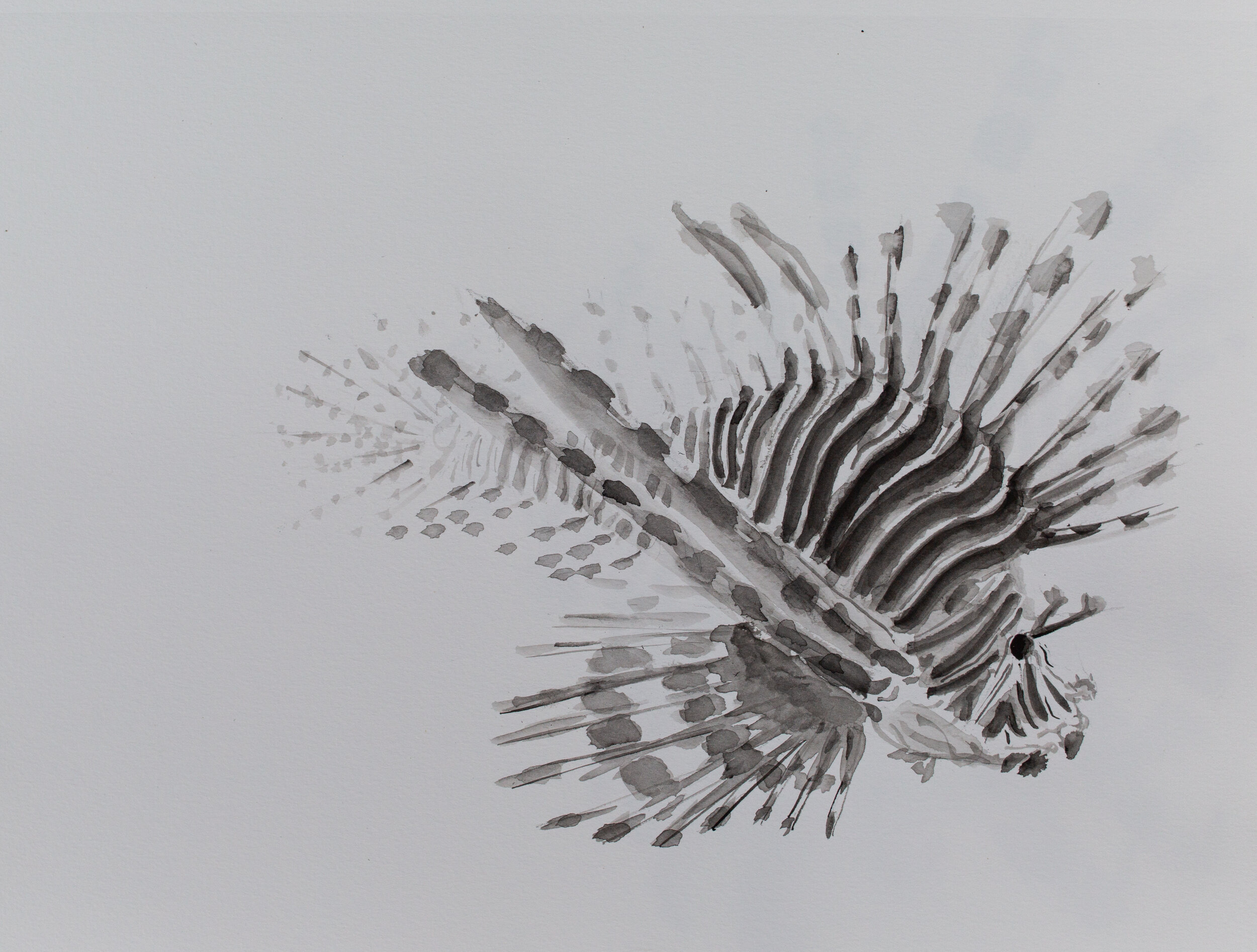 Lionfish drawing_7.jpg