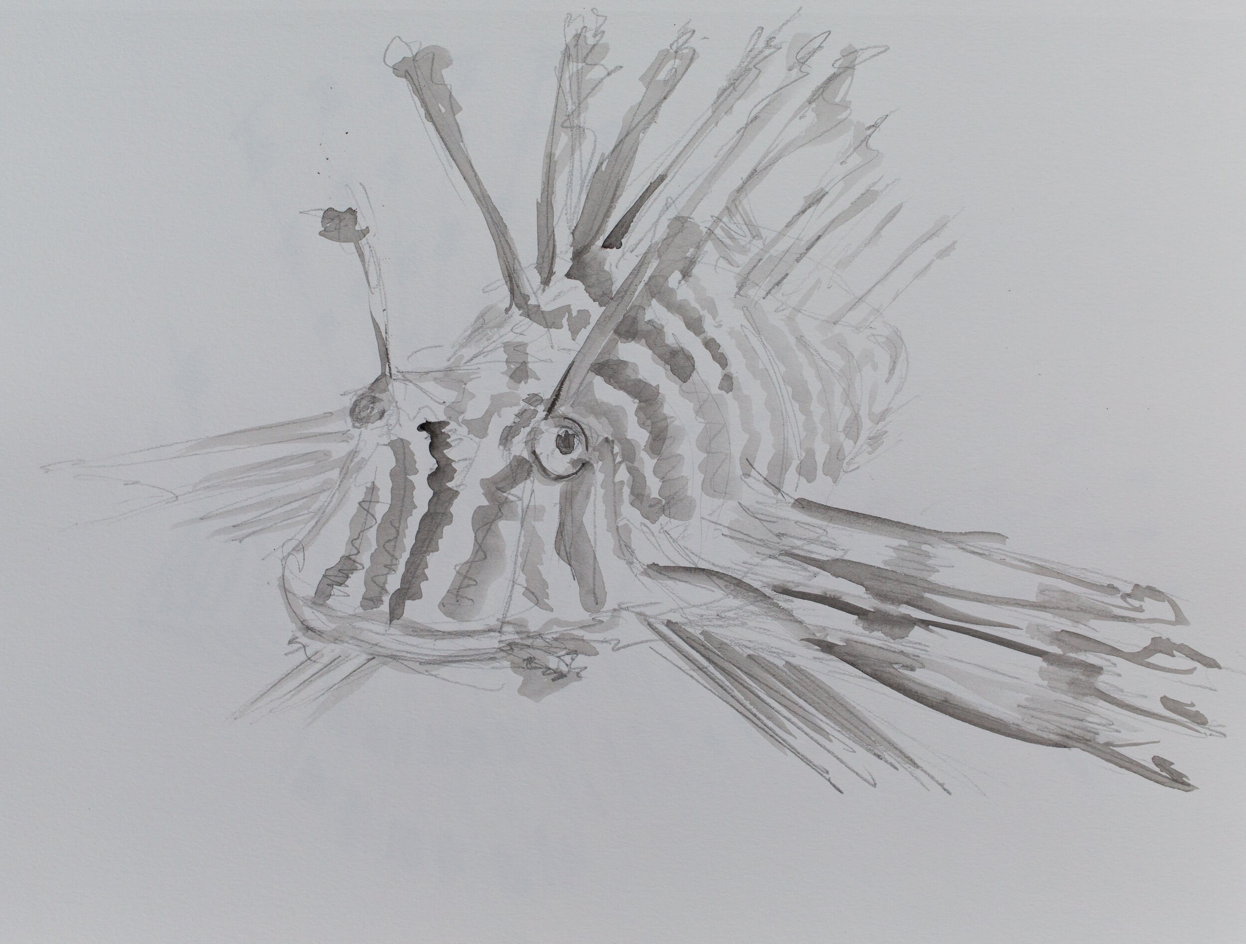 Lionfish drawing_11.jpg