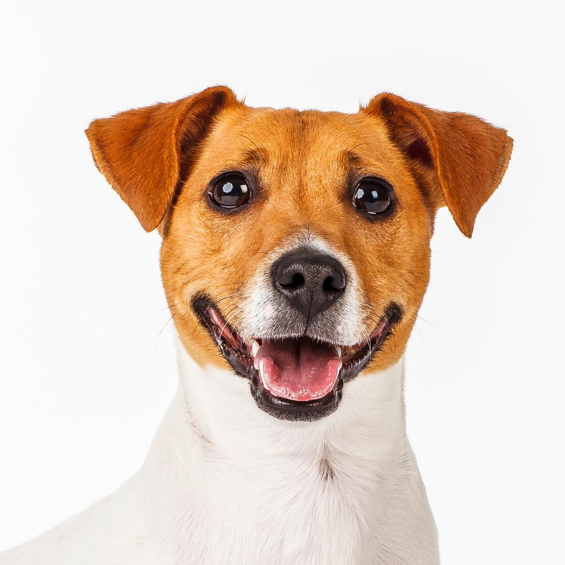Murphy Jack Russell Terrier