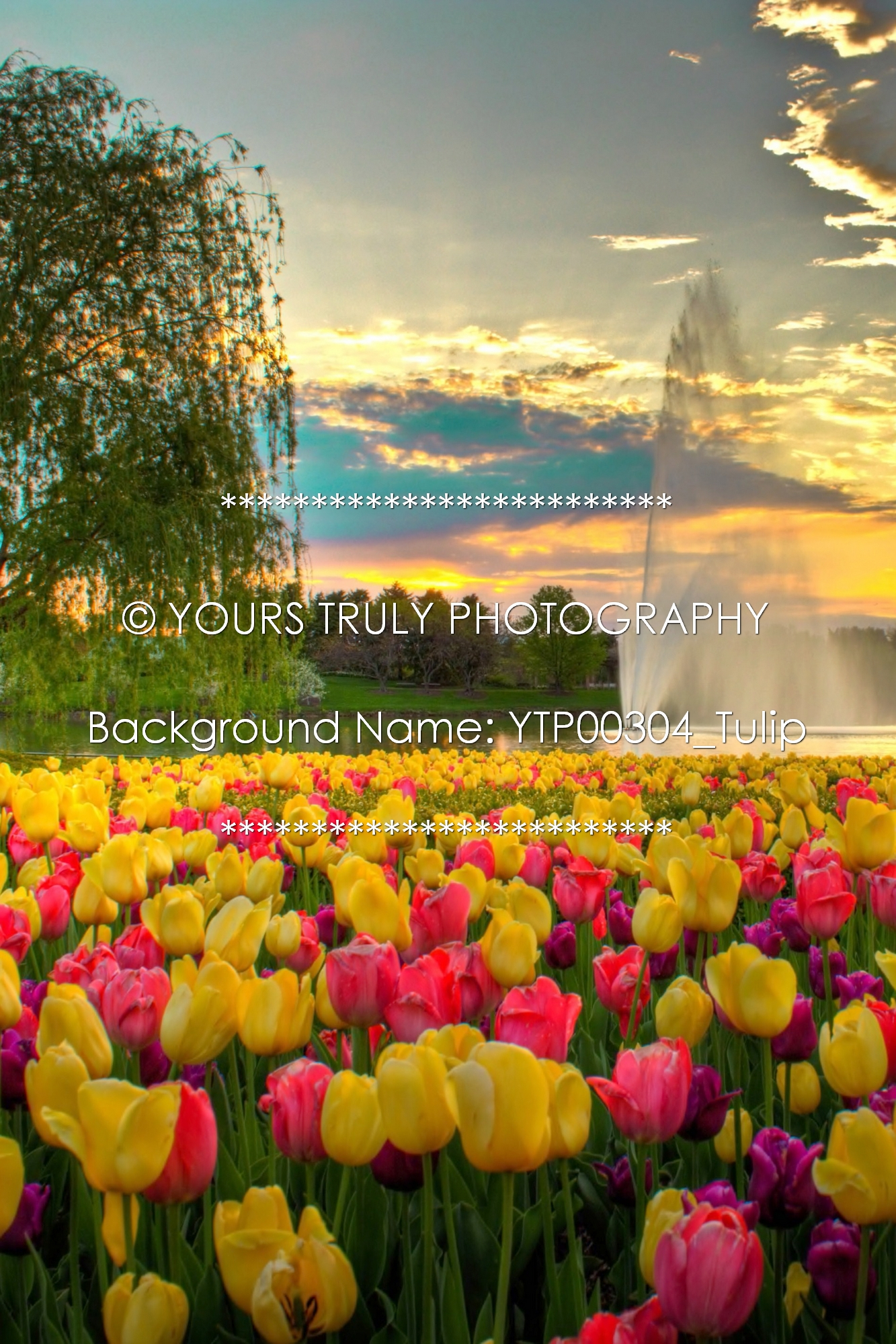 YTP00304_Tulip.jpg
