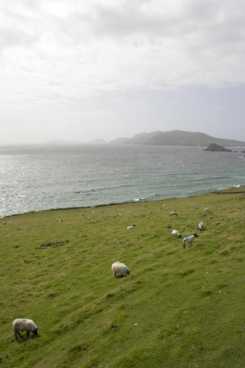 Stefanos Metaxas Dingle Ireland sheep.jpg
