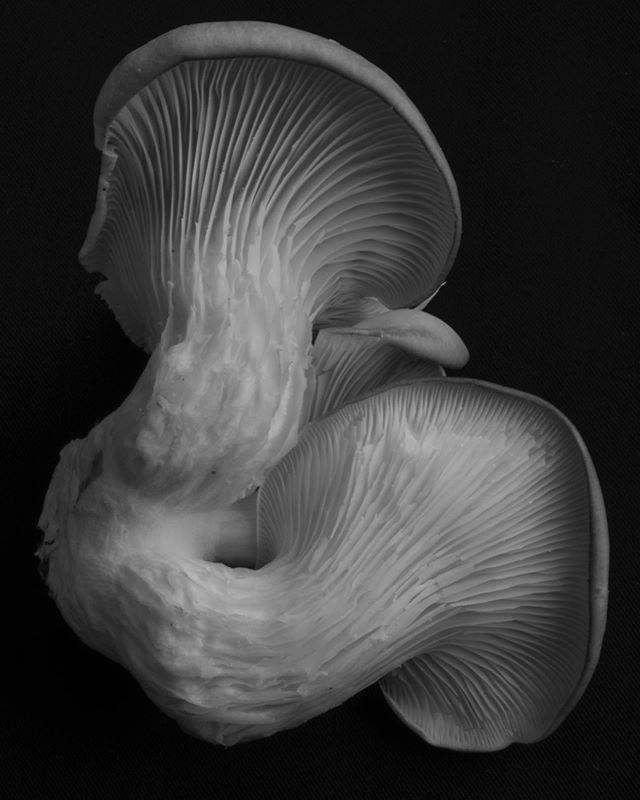 Umami flavored curves.  Photo inspired by Edward Weston. Oyster mushroom grown by @kanesfamilyfarm  #blackandwhite #mushroom #stilllifephotography #edwardweston